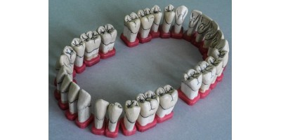 Tooth Forms  Art.no.1000-00